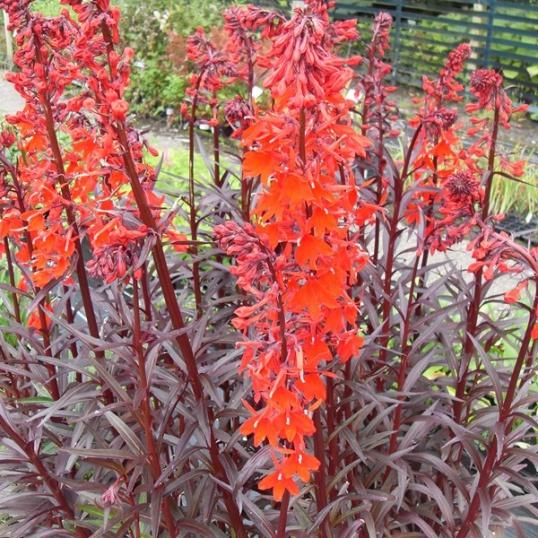 Lobelia Cardinalis-plug plants
