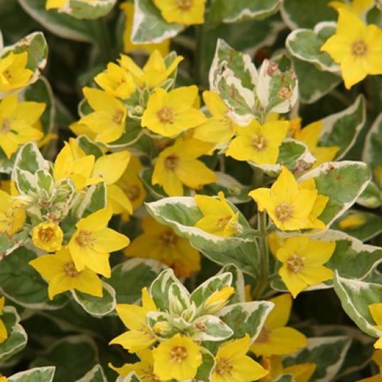 Lysimachia Punctata Alexander-plug plants