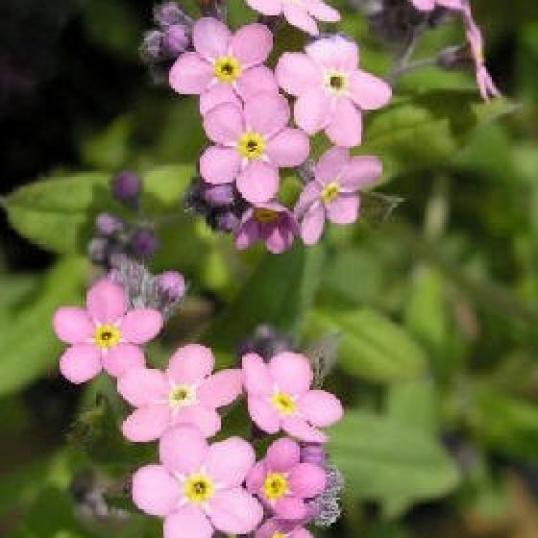 Myosotis Palustris Pinkie-7 cm pots