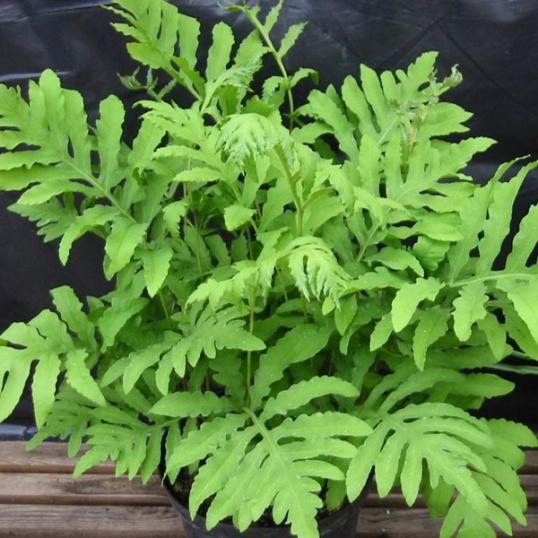 Onoclea Sensibilis-9 cm pot