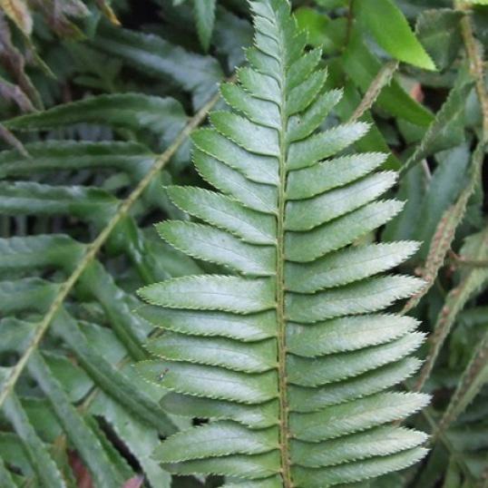 Polystichum Munitum-9 cm pots