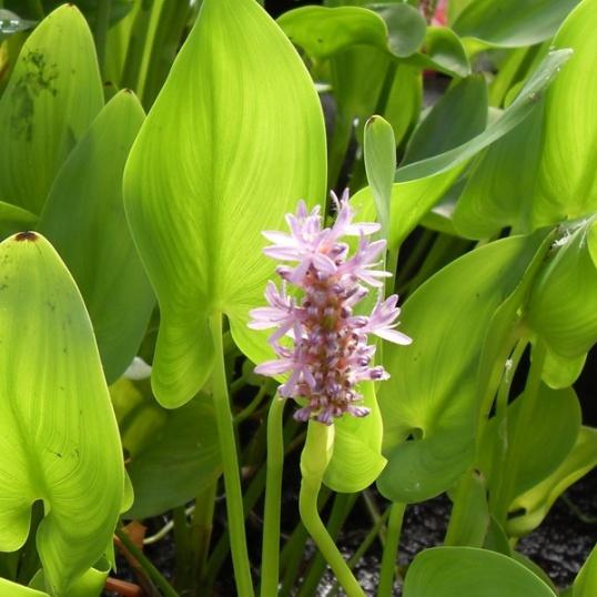 Pontederia Pink-barerooted