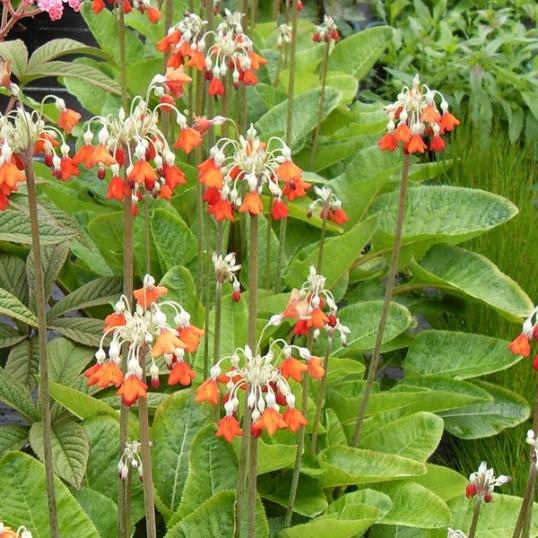 Primula Florindae Red-9 cm pots