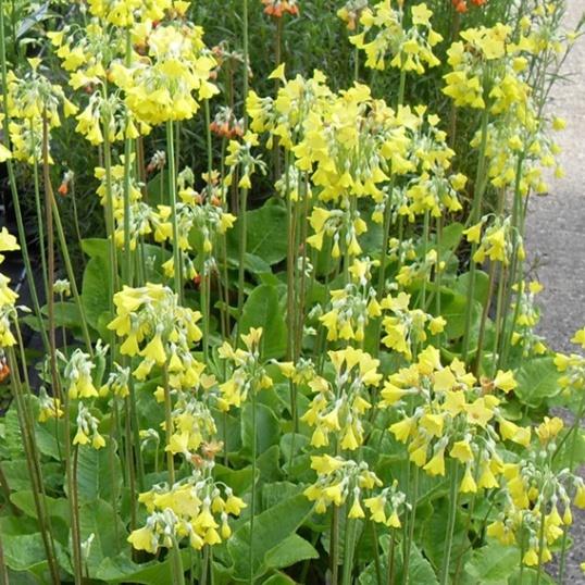 Primula Florindae Yellow-9 cm pots