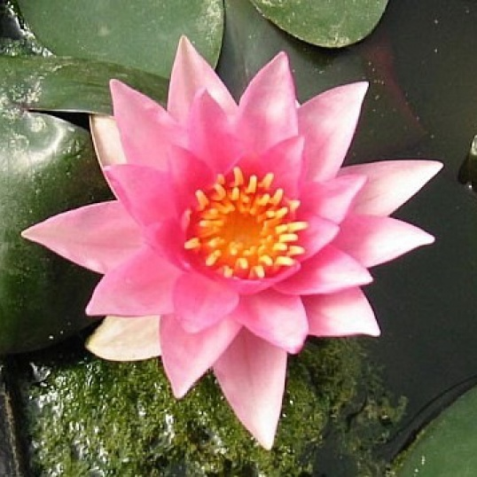 Nymphaea Rosy Morn-barerooted