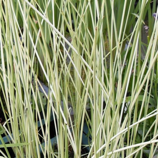Scirpus Tabernaemontanii Albascens-1 litre pots