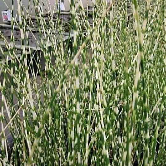 Scirpus Tabernaemontani Zebrinus-9 cm pot