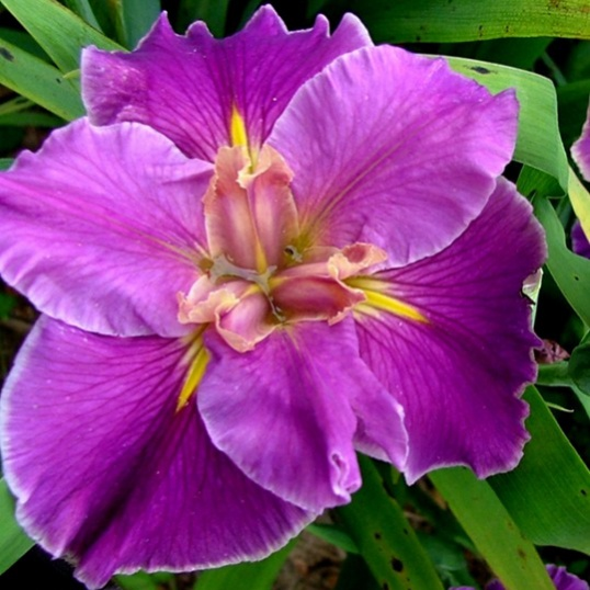 Iris Louisiana Stylish Socialite-barerooted