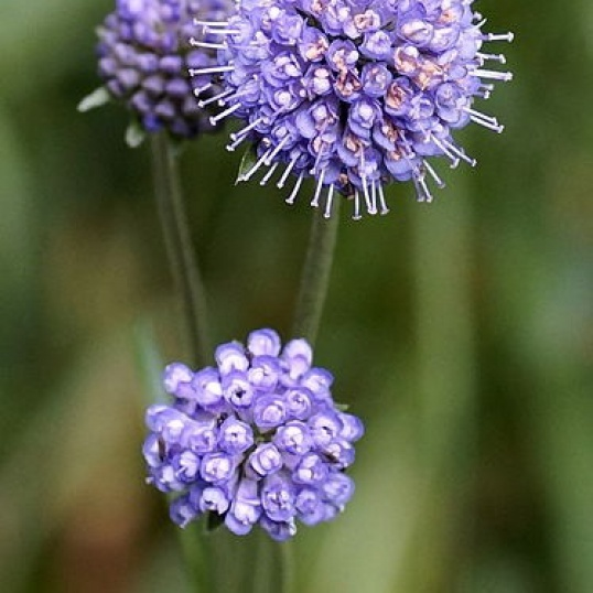 Succisa Pratensis-9 cm pots