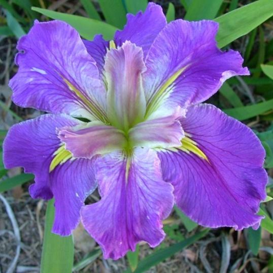 Iris Louisiana Teller Of Tales-barerooted