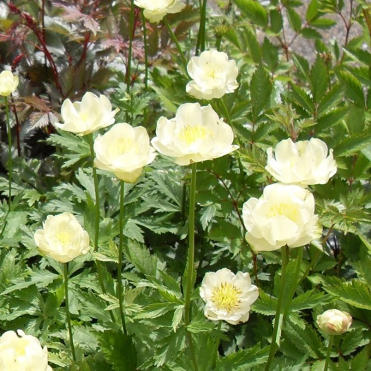Trollius cultorum New Moon-9 cm pot