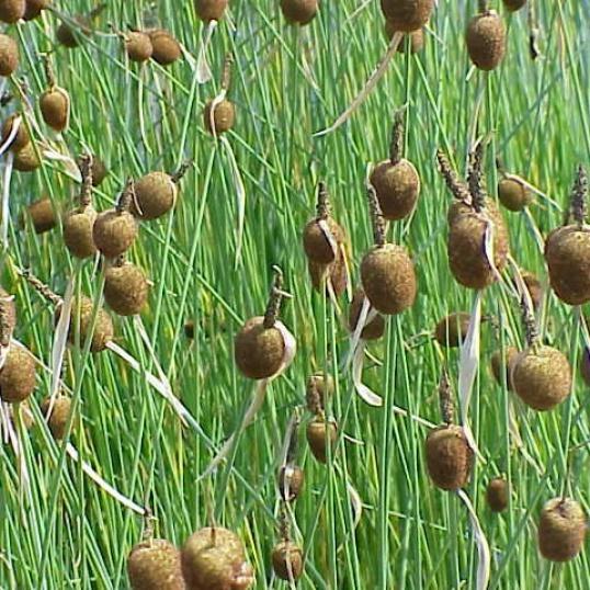 Typha Minima-7 cm pots