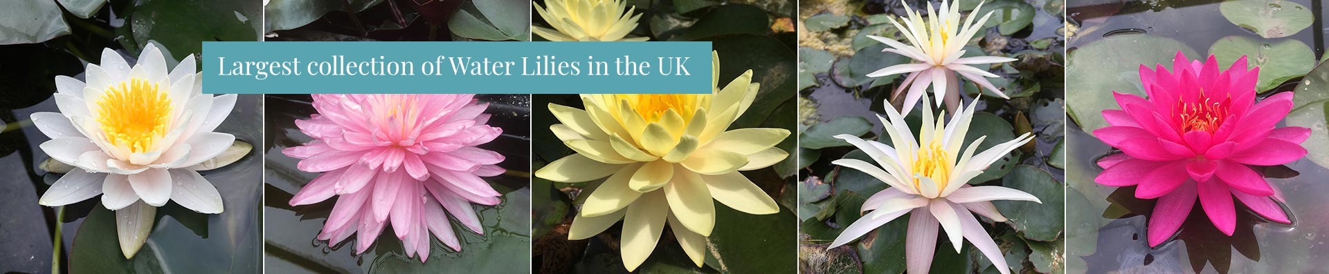 Largest Collection of Water Lilies in the UK