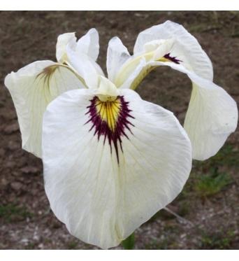 Iris Pseudata