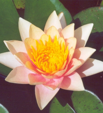 Colour Changing Water Lily Cultivars