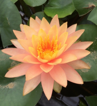 Orange-Golden Water Lily Cultivars