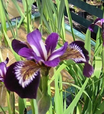 Aquatic Water Iris