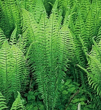 Aquatic Ferns