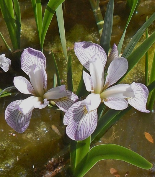 Iris Versicolor Candy Striper-barerooted