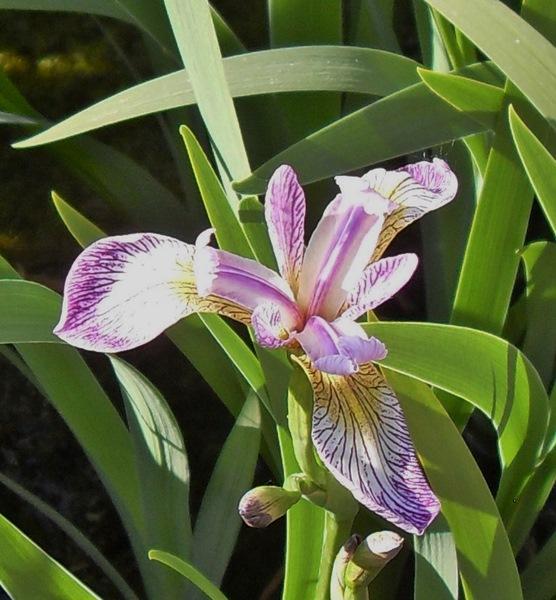 Iris Versicolor Rowden Cadenza-barerooted