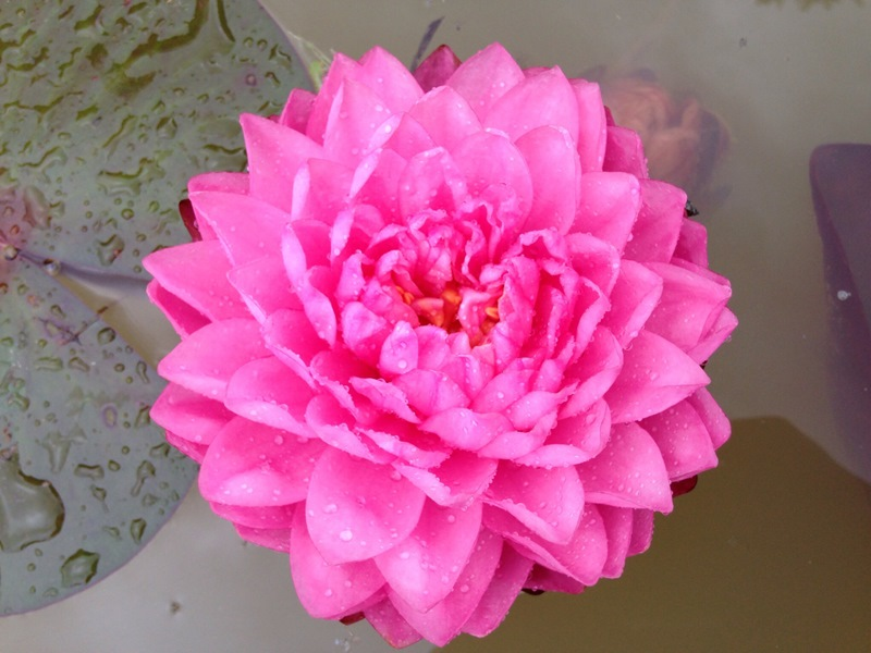 Nymphaea Fuscia Pom Pom-EXCLUSIVE-barerooted