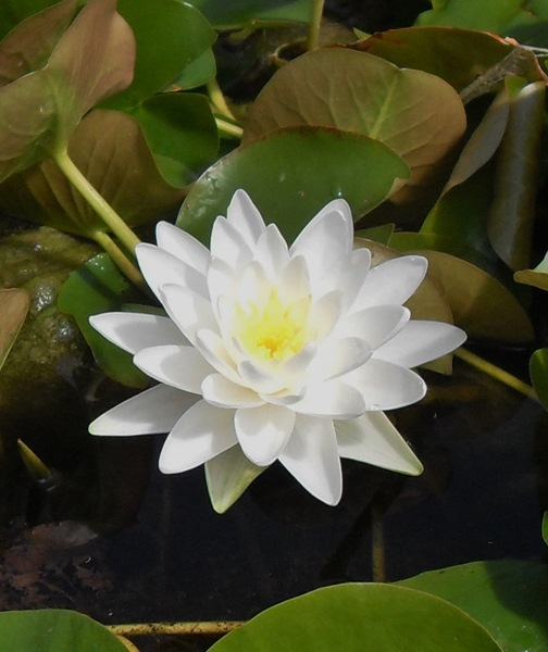 Nymphaea Perrys Double White-bare rooted