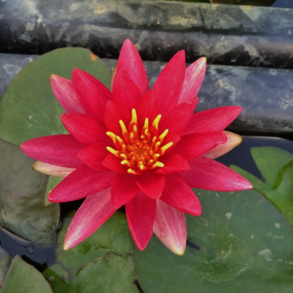 Nymphaea Reflective Flame-barerooted