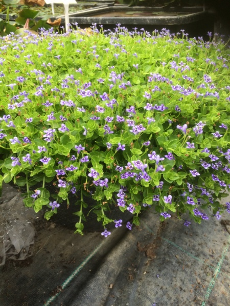 Lindernia Grandiflora-9 cm pots