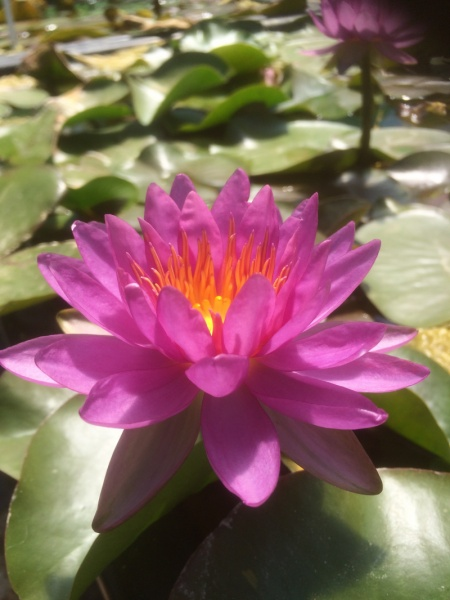 Nymphaea Kiss The Sky-EXCLUSIVE-barerooted