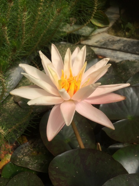 Nymphaea Starbright-barerooted