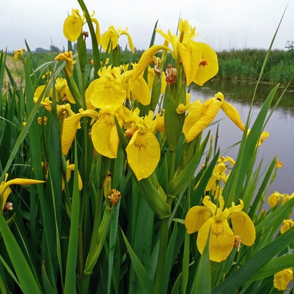 Marginal//Pond Plants Yellow Flag Iris Iris pseudacorus