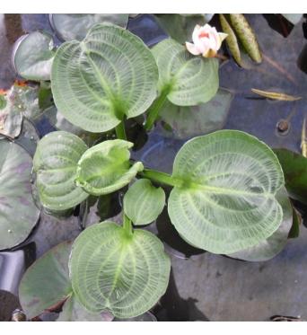 Alisma Parviflora-barerooted