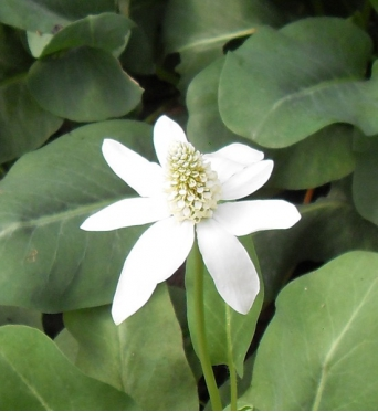 Anemopsis Californica-barerooted