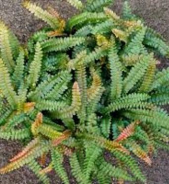 Blechum Penna-marina-9 cm pots