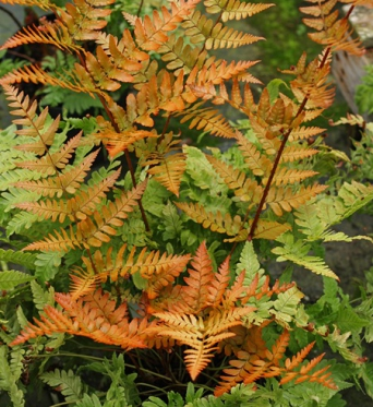 Dryopteris Erythrosora-large plug plants