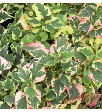 Houttuynia Cordata Variegata-9 cm pots