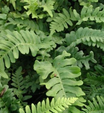 Polypodium Vulgare Bifido Multifidum-9 cm pot