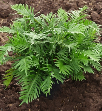 Polypodium Whitley Giant-9 cm pots