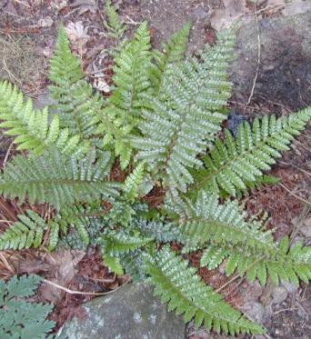 Polystichum Polyblepharum-9 cm pot