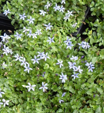 Pratia Pendunculata Country Park-plug plants