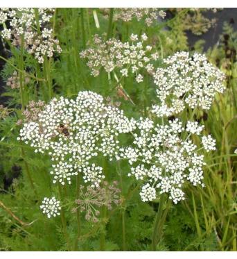 Selinum Carvifolia-9 cm pots