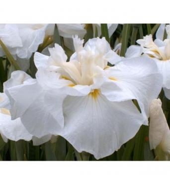 Iris Ensata Angelic Choir-barerooted