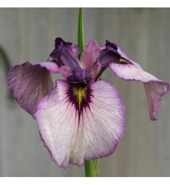 Iris Pseudata Kurokawa-Noh-barerooted