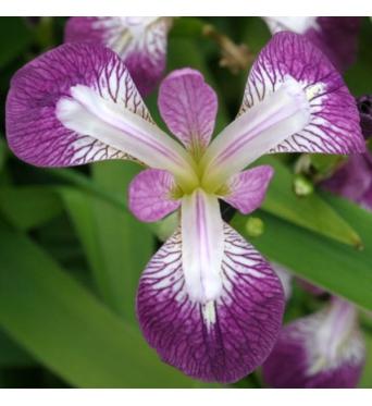 Iris Versicolor Raspberry Slurp-barerooted