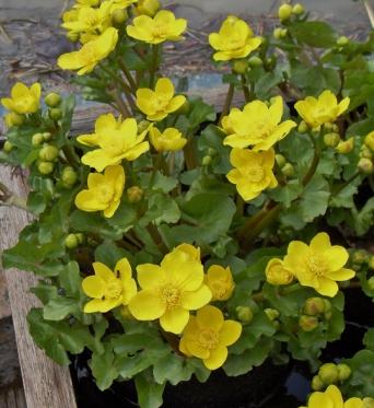 Caltha Palustris-9 cm pots