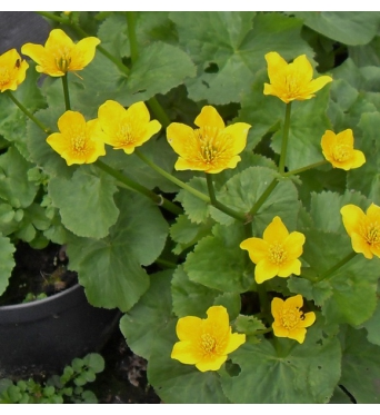Caltha Palustris Laeta-RARE PLANT-9 cm pots