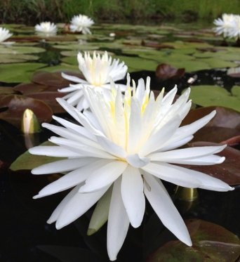 Nymphaea Snowflake-EXCLUSIVE-barerooted