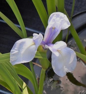 Iris Laevigata Liam Johns-barerooted