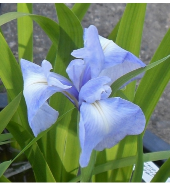 Iris Laevigata Richard Greany-barerooted
