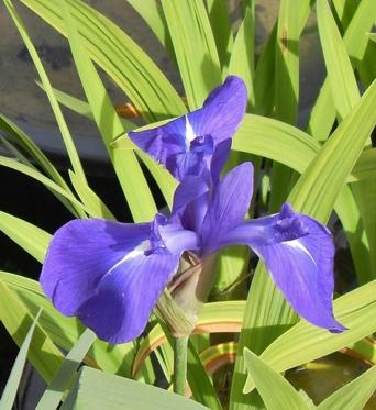 Iris Laevigata Weymouth Blue-barerooted